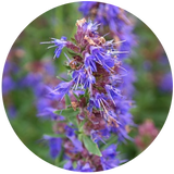 Hyssop (Hyssopus officinalis L.) Essential Oil