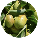 jojoba golden Simmondsia Chinensis