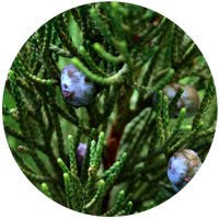 Juniper Berry (Juniperus communis) Essential Oil-Bulgaria