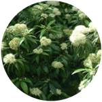 Lemon myrtle (Backhousia citriodora) Essential Oil