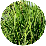 Lemongrass (Cymbopogon flexuosus) Essential Oil