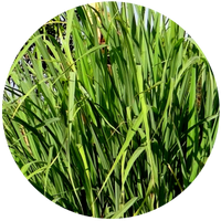 Lemongrass (Cymbopogon citratus) Essential Oil