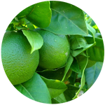 Lime (Citrus aurantifolia) Essential Oil -Distilled