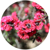 Manuka (Leptospermum scoparium) Essential Oil