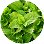 Lemon Balm (Melissa officinalis) Hydrosol
