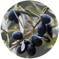 Olive (Olea europaea) Carrier Oil- Extra virgin-Organic