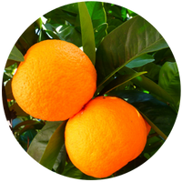 Orange (Citrus sinesis) Essential Oil - Cold Pressed
