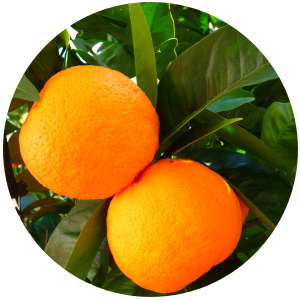 Orange (Citrus sinesis) Essential Oil, Cold Pressed
