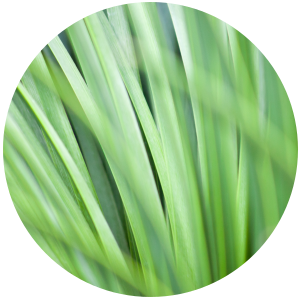 Palmarosa (Cymbopogon martini) Essential Oil