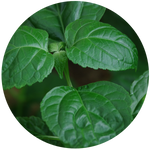 Patchouli (Pogostemon cablin) Essential Oil