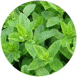 Peppermint (Mentha piperita) Essential Oil