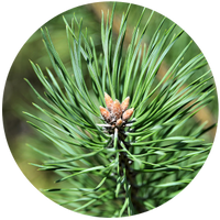 Pine-Scotch (Pinus sylvestris) Essential Oil