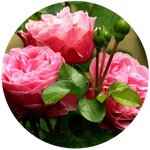 Rose (Rosa damascena) Hydrosol