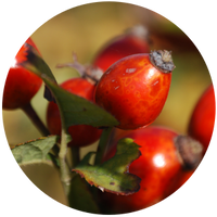 Rosehip Seed (Rosa canina) Carrier Oil-Cold Pressed -Organic