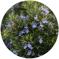 Rosemary (Rosmarinus Officinalis) Essential Oil