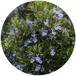 Rosemary (Rosmarinus Officinalis) Essential Oil-Organic
