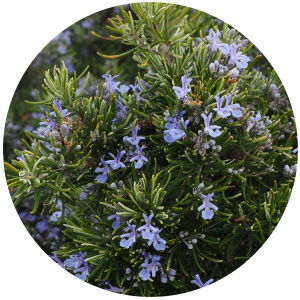 Rosemary antioxidant oil sol. (Rosmarinus Officinalis)