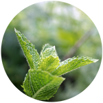 Spearmint (Mentha spicata) Essential Oil