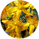 St Johns Wort (Hypericum perforatum) Macerated Oil