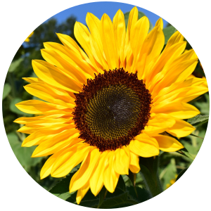 Sunflower Oil - High oleic REFINED Organic