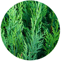 Cedar leaf (Thuja occidentalis) Essential Oil