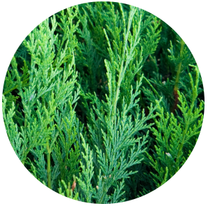 Thuja Cedar leaf (Thuja occidentalis) Essential Oil