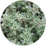 Thyme, (Thymus vulgaris) Essential Oil