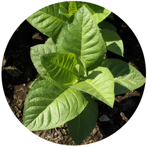 Tobacco (Nicotiana tabacum) Absolute