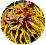 Witch Hazel (Hamamelis virginiana) Hydrosol Alcohol Free with 0.15% Benzoic Acid
