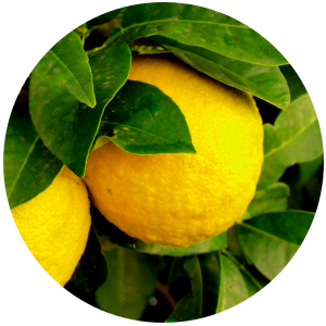 Yuzu (Citrus junos) Essential Oil