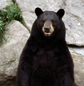 Black Bear Urine