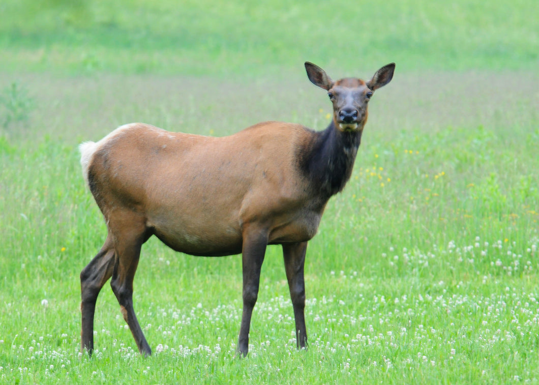 Cow Elk Urine