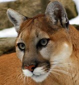 Mountain Lion Urine