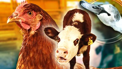 Report on animal diseases and disorders