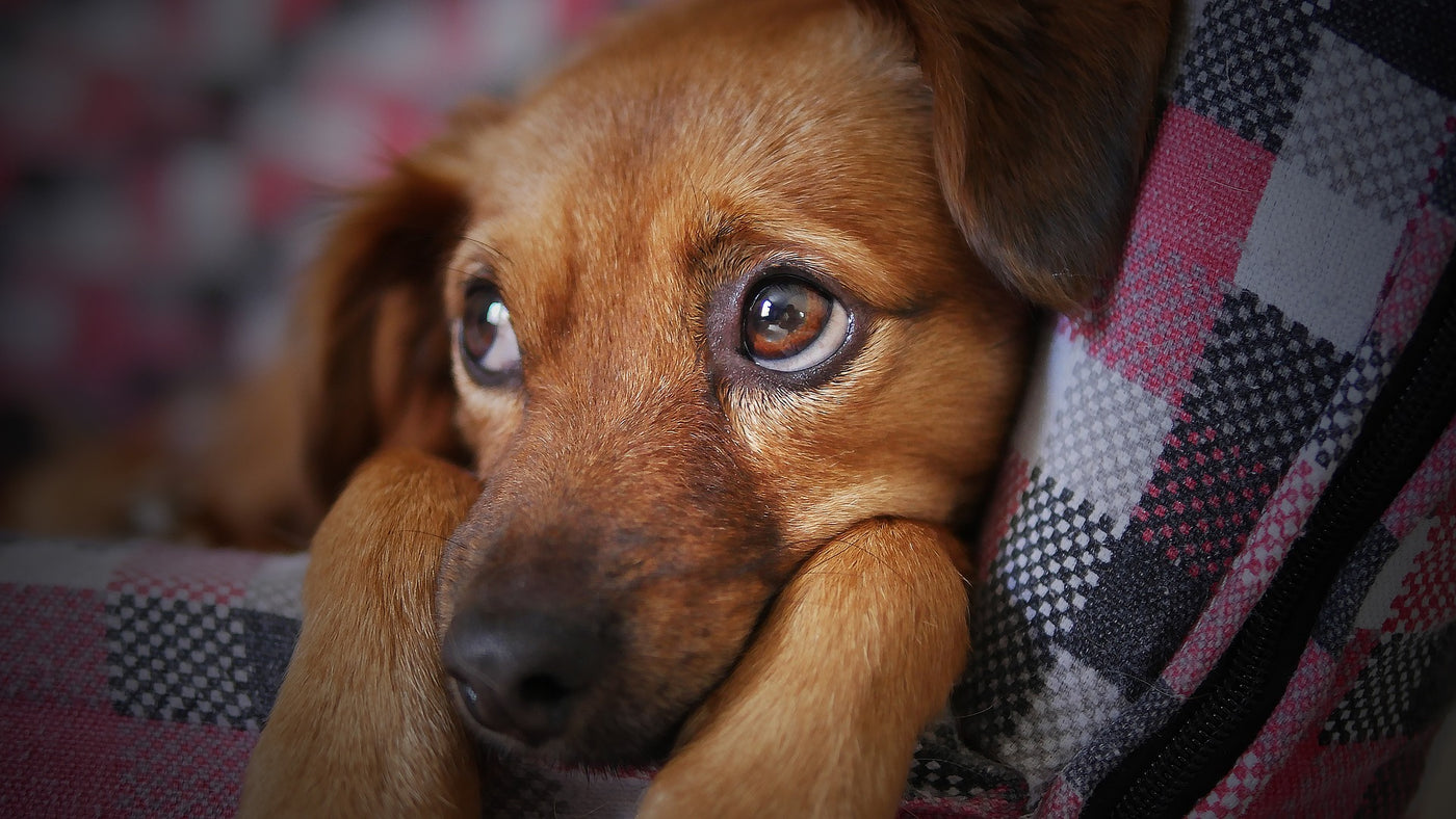 Does Your Dog Have Any Separation Anxiety?