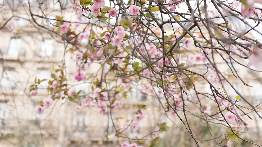 Left Bank Cherry Blossom Season in Paris - Every Day Paris