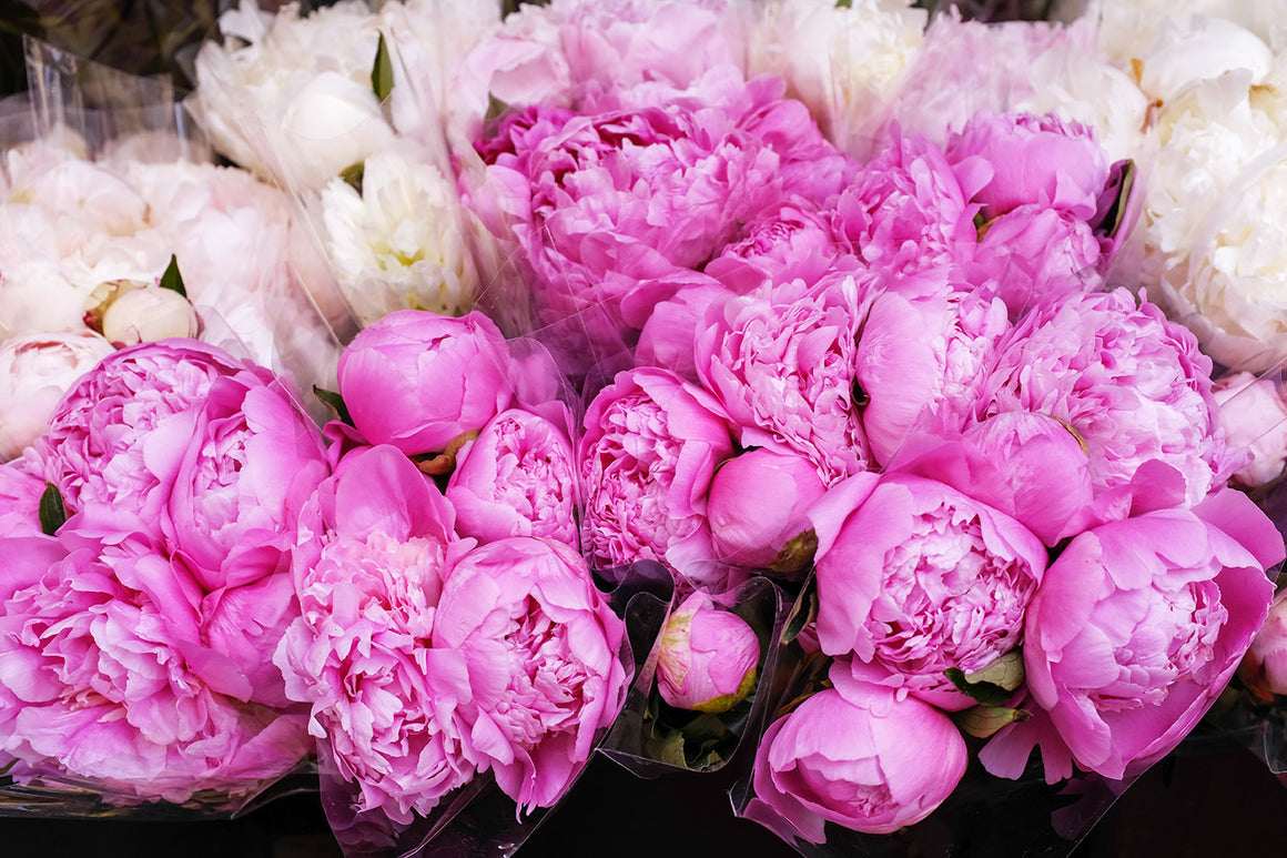 French Pink Peonies
