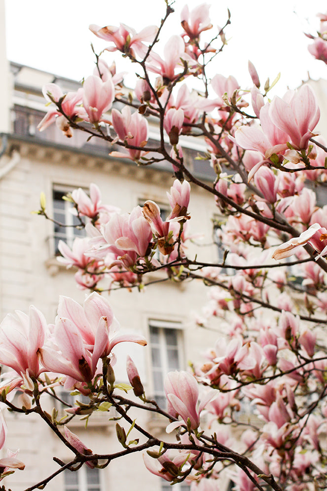 Magnolia Trees in Bloom - Every Day Paris
