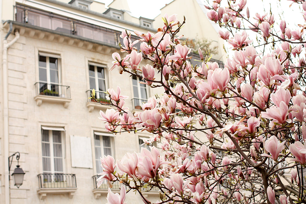 Pink Magnolia Trees in Paris - Every Day Paris