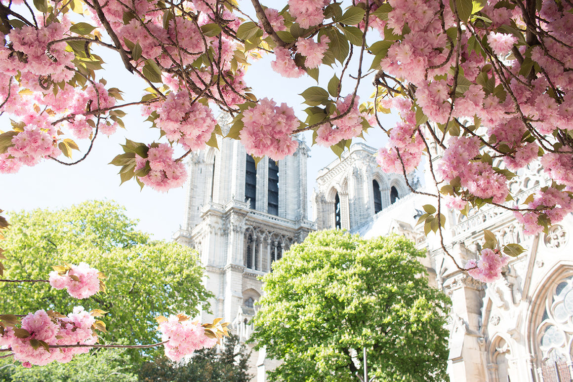 Notre Dame Cherry Blossoms in Paris - Every Day Paris