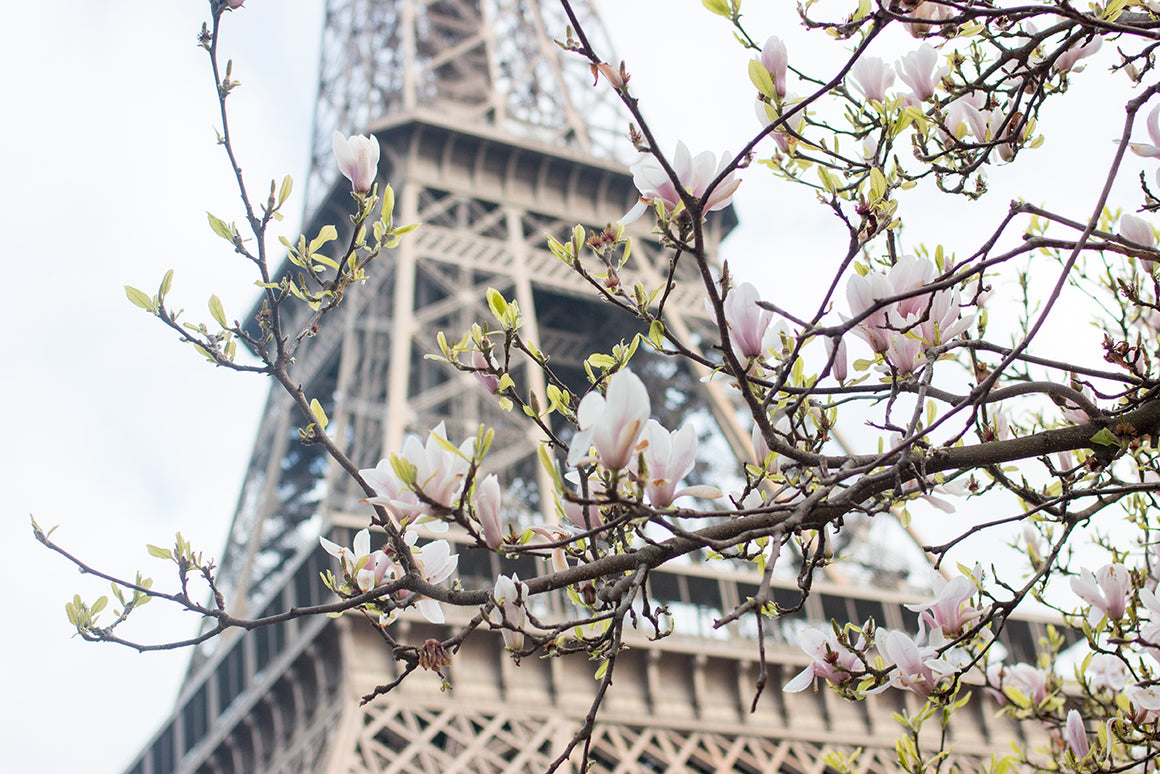 Eiffel Tower in Bloom with Magnolias - Every Day Paris