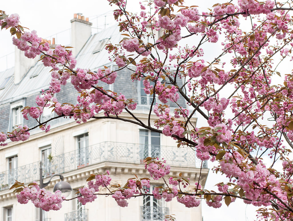 Cherry Blossom Season in Paris