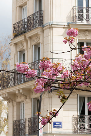 Cherry Blossoms on Rue Monge - Every Day Paris