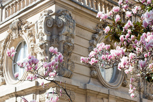 Parc Monceau Magnolia Blossoms - Every Day Paris
