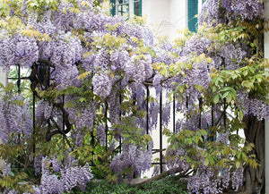 Wisteria in Montmartre - Every Day Paris