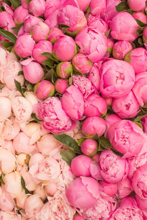 Paris Pink Peony Season - Every Day Paris