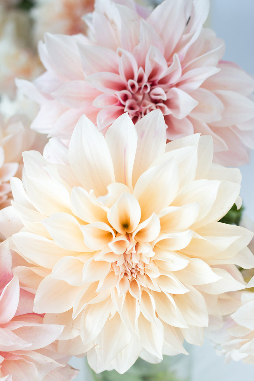 Pink Dahlia Cafe au Lait - Every Day Paris