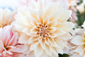 Baby Pink and Cream Dahlia - Every Day Paris