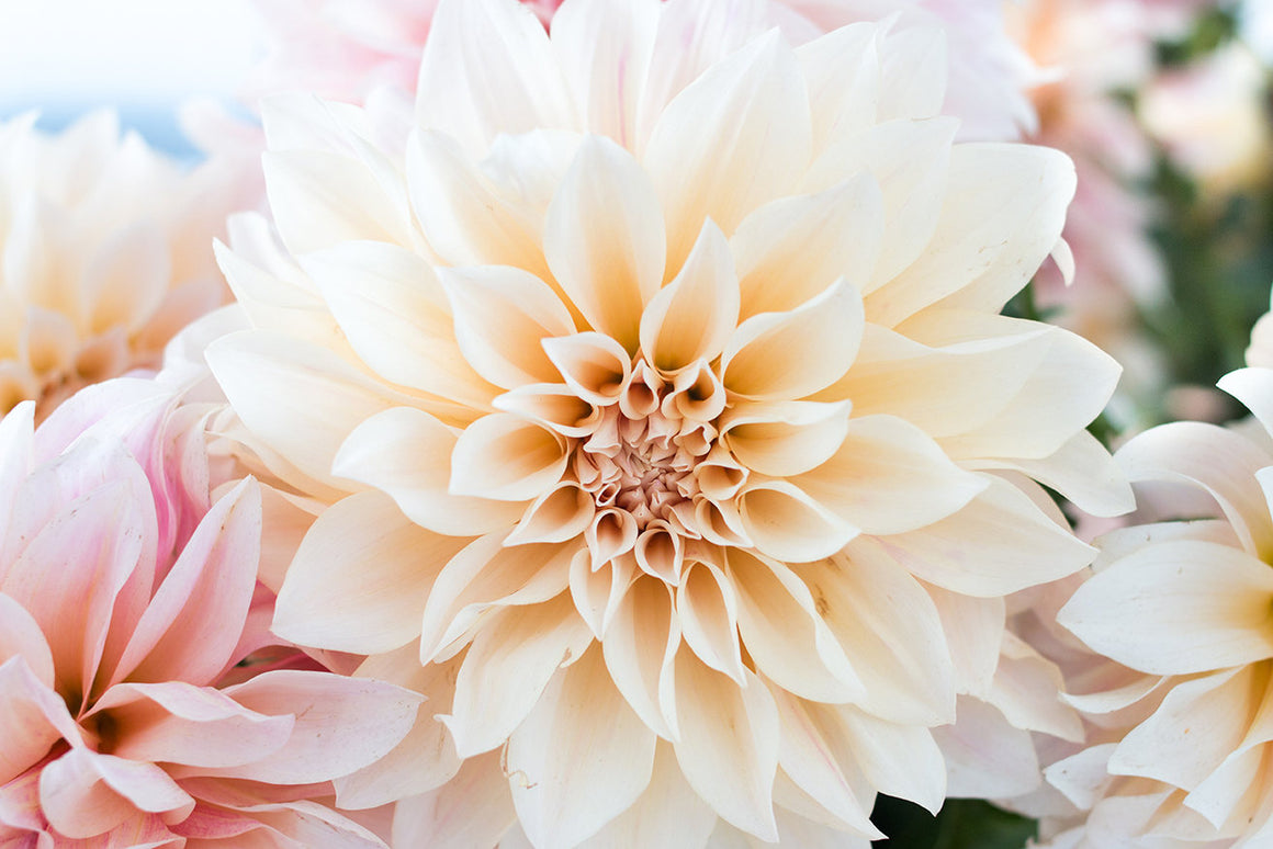 Baby Pink and Cream Dahlia