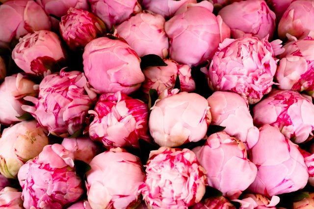 Pink Peonies in Southern France